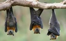 Insolite : La nuit de la chauve souris à la Réunion