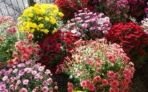 Toussaint : La tradition des chrysanthèmes
