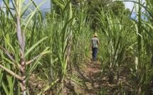 Sugar Insurance Fund Board : Le CEO révoqué et le board démissione