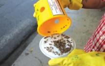 Rodrigues : Campagne de sensibilisation contre la prolifération des mouches de fruits