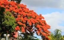 """Alerte bêtisier de l'année : On sacrifie des flamboyants, """"l'arbre de Noël mauricien"""" pour un pont !"""