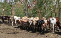 L'embargo sur l'exportation du bétail rodriguais levé
