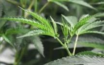 Plaine-des-Papayes : Culture de cannabis dans un pneu