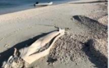 Saint Brandon : Le cadavre de Georges le requin échoué sur la plage