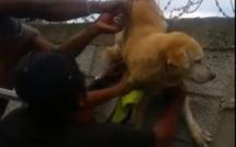 ▶️ Baie du Tombeau : Un chien pris au piège dans des fils barbelés, secouru par des anges gardiens