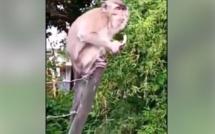 ▶️ Le forum de Curepipe est devenu le nouveau refuge des singes