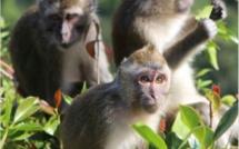 """Liverpool Football Club : Action for Primates demande au club de faire pression pour la fin du """"Monkey Business"""" à Maurice"""