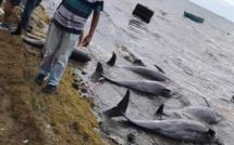 Dauphins échoués sur la côte Sud-Est : Greenpeace déplore le manque de transparence des autorités mauriciennes