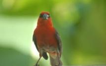 Marée noire: Le « Cardinal de Maurice » est en voie d'extermination à l'île Maurice