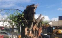 A Quatre Bornes, un arbre centenaire sacrifié pour le projet Metro express