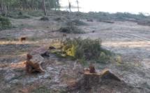 Sur la plage publique de Belle Mare, remplacement des filaos pour lutter contre l'érosion