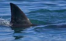 Trafic d'ailerons de requin d'une valeur estimée à Rs 70 000